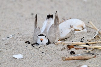 Piping Plover male nest scraping copyright kim Smith