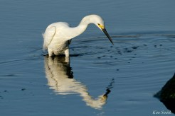 Snowy Egret Cape Ann Massachusetts copyright Kim Smith - 2 of 6