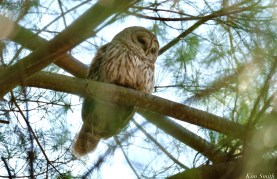 Barred Owl Spring 2020 copyright Kim Smith - 27 of 68