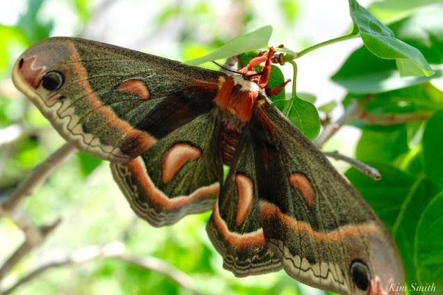 Cecropia Moth Female Giant Silk Moth copyright Kim Smith - 14 of 22