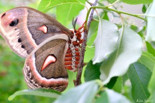 Cecropia Moth Female Giant Silk Moth copyright Kim Smith - 21 of 22
