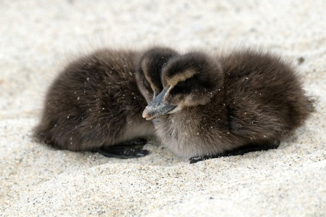 Common Eider Ducklings Spring 2020 copyright Kim Smith - 42 of 68