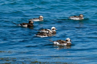 Long-tailed Ducks Late Spring 2020 copyright Kim Smith - 66 of 68