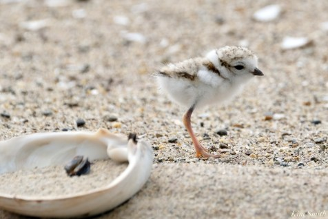 Piping Plover Clam Fam Day Hatching Day #2 Afternoon copyright Kim Smith - 5 of 52