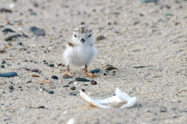 Piping Plover Clam Fam Day Hatching Day #2 Morning copyright Kim Smith - 14 of 51
