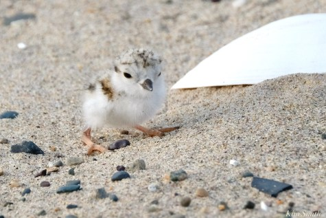 Piping Plover Clam Fam Day Hatching Day #2 Morning copyright Kim Smith - 21 of 51