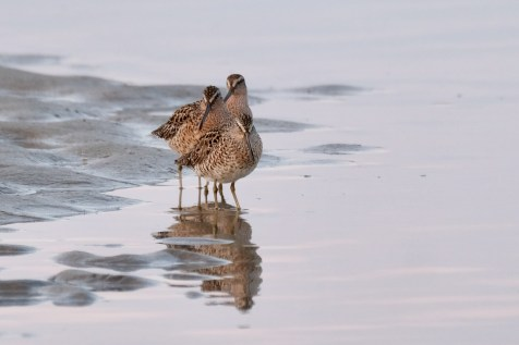 Dowitcher Good Harbor Beach Gloucester copyright Kim Smith - 5 of 28