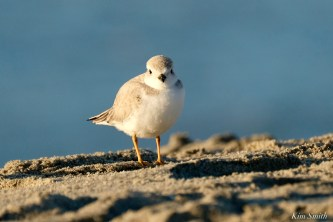 Piping Plover Marshmallow 38 days copyright Kim Smith
