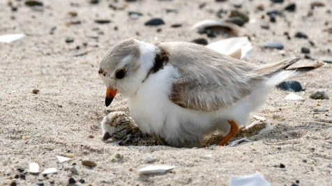 Piping Plovers 2020 copyright Kim Smith - 32 of 106