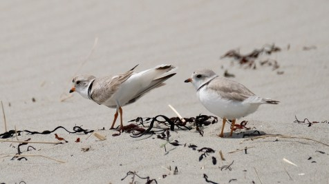 Piping Plovers 2020 copyright Kim Smith - 5 of 106