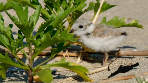 Piping Plovers 2020 copyright Kim Smith - 69 of 106