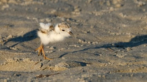 Piping Plovers 2020 copyright Kim Smith - 83 of 106