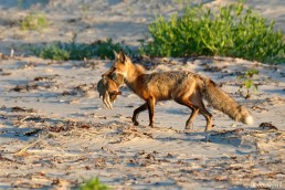 Red Fox Good Harbor Beach copyright Kim Smith - 3 of 6