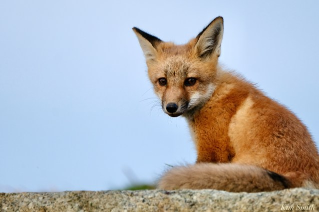 Red Fox Kits Gloucester MA copyright Kim Smith - 18 of 19