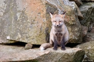 Red Fox Kits Gloucester MA copyright Kim Smith - 7 of 19