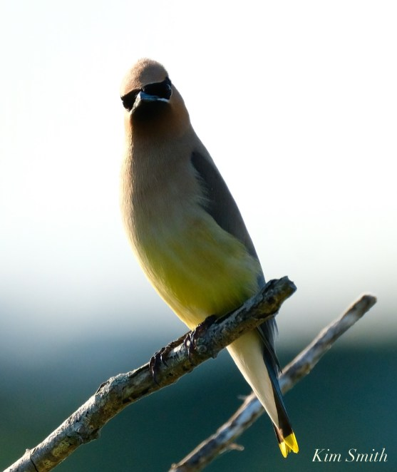 Cedar Waxwing Eastern Point copyright Kim Smith - 11 of 13
