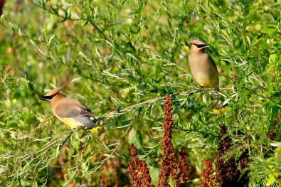 Cedar Waxwing Eastern Point copyright Kim Smith - 4 of 13