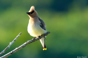 Cedar Waxwing Eastern Point copyright Kim Smith - 8 of 13