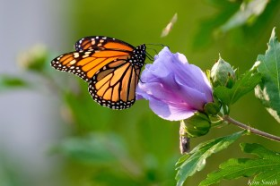 Monarch Butterfly Blue Rose of Sharon copyright Kim Smith