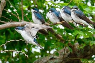 Tree Swallows Massing Good Harbor Beach -3 copyright Kim Smith