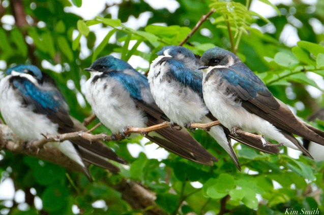 Tree Swallows Massing Good Harbor Beach -5 copyright Kim Smith