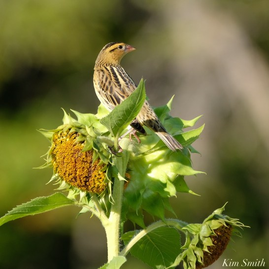 Bobolinks School Street Sunflowers copyright Kim Smith - 18 of 34