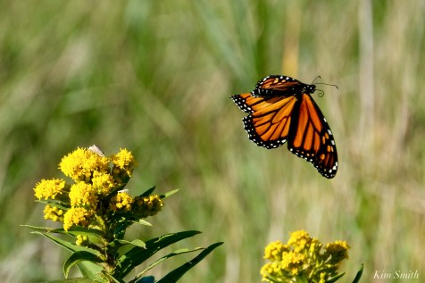 Monarch Butterfly Flight Gloucester MA copyright Kim Smith - 4 of 4