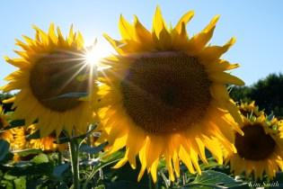 School Street Sunflowers Ipswich MAssachusetts copyright Kim Smith - 27 of 42