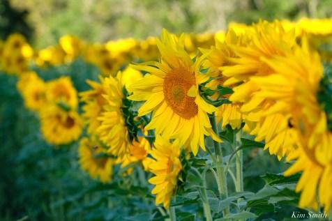 School Street Sunflowers Ipswich MAssachusetts copyright Kim Smith - 9 of 42