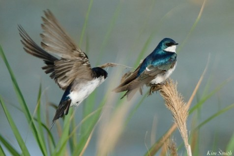 Tree Swallows Gloucester MA copyright Kim Smith - 6 of 17