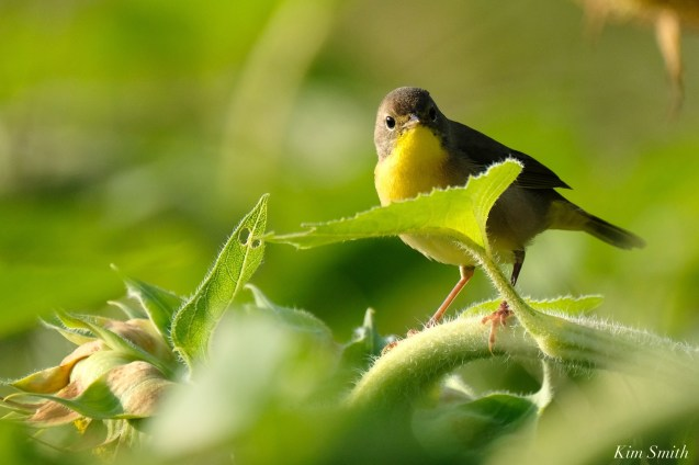 Common Yellowthroat Warbler Sunflower Field copyright Kim Smith - 2 of 7