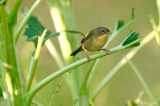 Common Yellowthroat Warbler Sunflower Field copyright Kim Smith - 3 of 7