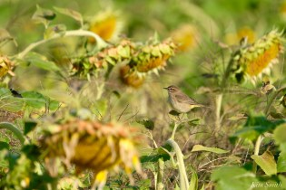 Common Yellowthroat Warbler Sunflower Field copyright Kim Smith - 7 of 7