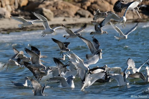 Cormorant Gull feeding frenzy Massachusetts copyright Kim Smith - 50 of 56