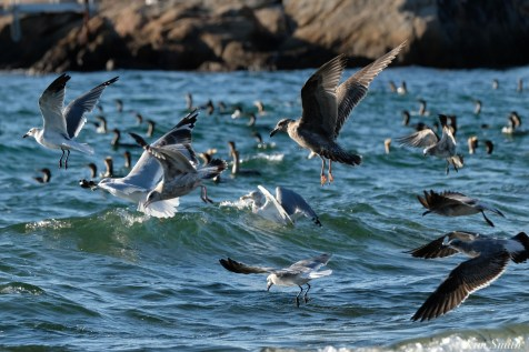 Cormorant, Gull feeding frenzy Massachusetts copyright Kim Smith - 55 of 56