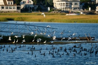 Cormorant, Heron, Gull feeding frenzy Massachusetts copyright Kim Smith - 32 of 56