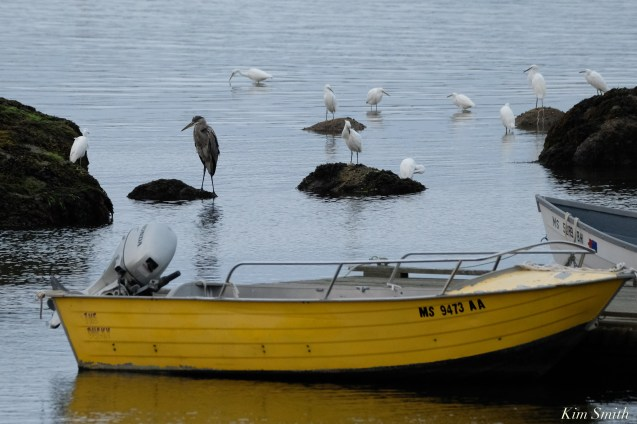 Cormorant, Heron, Gull feeding frenzy Massachusetts copyright Kim Smith - 46 of 56
