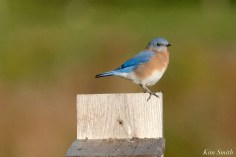 Eastern Bluebird Male copyright Kim Smith - 17 of 24