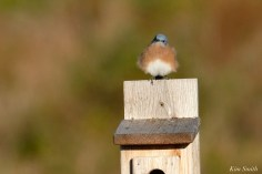 Eastern Bluebird Male copyright Kim Smith - 8 of 24