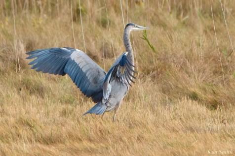 Great Blue Heron Gloucester copyright Kim Smith - 4 of 5