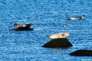 Harbor Seal Pod Brace Cove -2 copyright Kim Smith