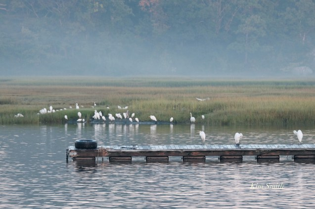 Herons waiting for Cormorant feeding frenzy Massachusetts copyright Kim Smith - 20 of 56