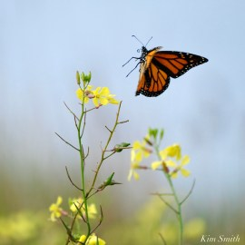 Monarch Butterfly Migraton October 15 2020 Black Mustard -3 copyright Kim Smith