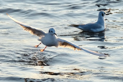 Bonaparte's Gulls copyright Kim Smith