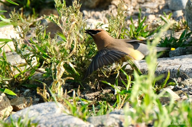Cedar Waxwing Essex County Massachusetts copyright Kim Smith - 1 of 37