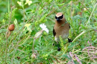 Cedar Waxwing Essex County Massachusetts copyright Kim Smith - 19 of 37