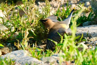 Cedar Waxwing Essex County Massachusetts copyright Kim Smith - 2 of 37