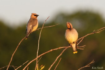 Cedar Waxwing Essex County Massachusetts copyright Kim Smith - 25 of 37