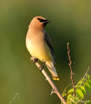 Cedar Waxwing Essex County Massachusetts copyright Kim Smith - 3 of 37