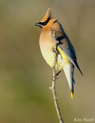 Cedar Waxwing Essex County Massachusetts copyright Kim Smith - 32 of 37